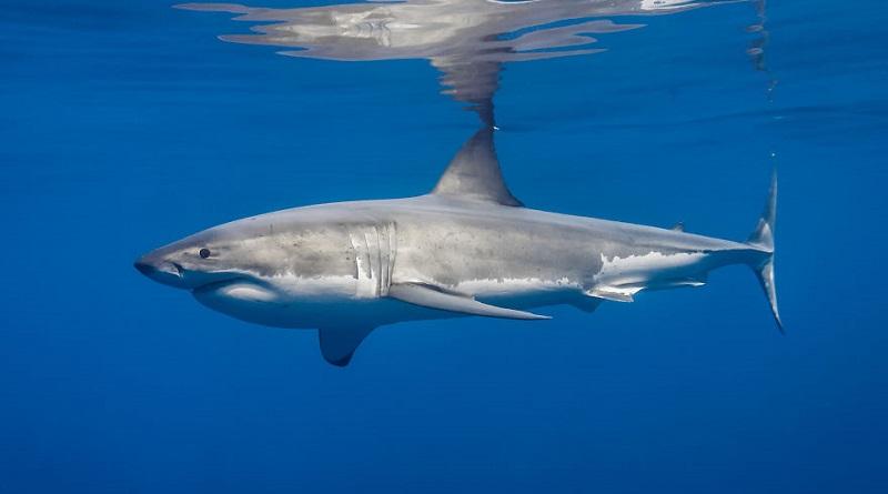 A Nagy fehér cápa egy fotós szemszögéből